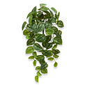 Scindapsus Pictus Hanging Plant