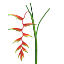 Heleconia Caribea Branch