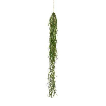 Sprengeri Hangplant