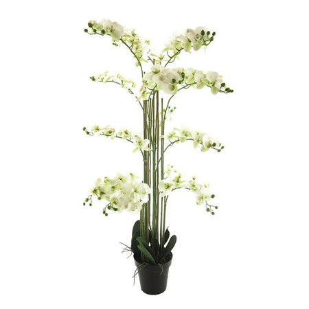 Bora Orchid plant