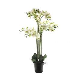 Bora Orchidee plant