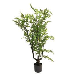 Forest Fern tree in pot