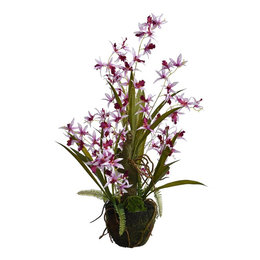 Tiger orchid with root ball