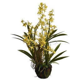 Tijgerorchidee met kluit