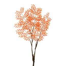 Begonia tak
