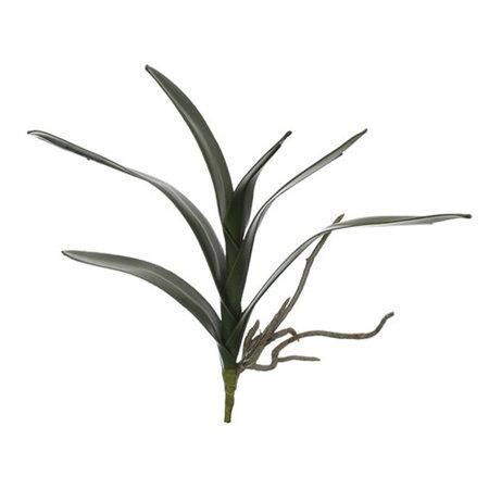 Cymbidium Leaf