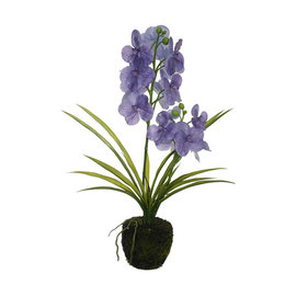 Vanda with root ball