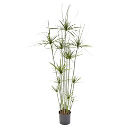 Papyrus Deluxe Plant
