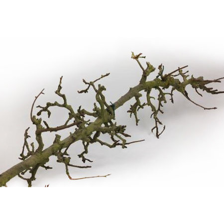 Pear branch L