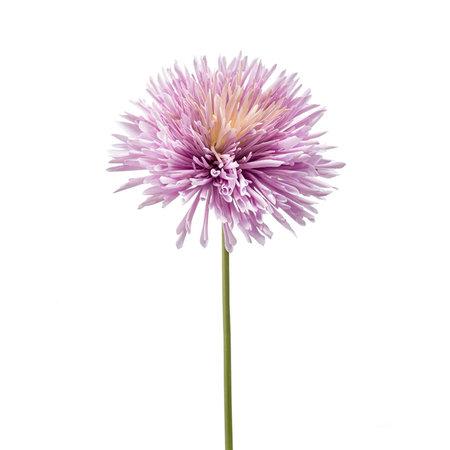 Chrysanthumum