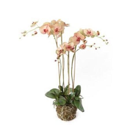Orchidee met kluit