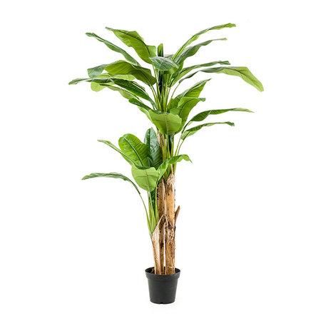 Bananenboom