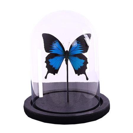 Bell jar with 1 Papilio Ulysses Ulysses