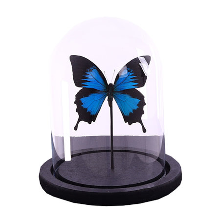 Dome with 1 Papilio Ulysses Ulysses