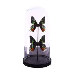 Stolp met 2 Papilio Urania Ripheus
