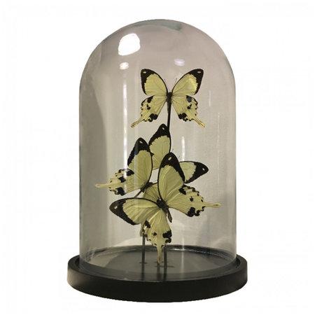 Stolp met 4 Papilio Dardanus