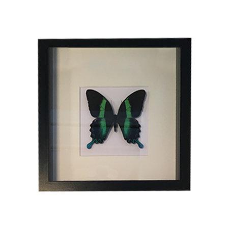 Papilio Blumei in painting