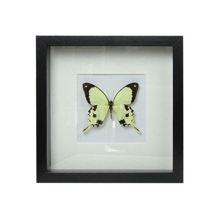 Papilio Dardanus in painting