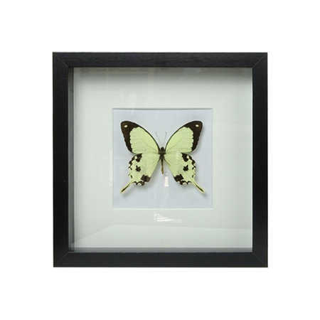 Papilio Dardanus in schilderij