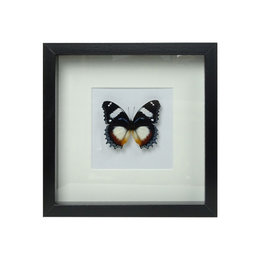 Papilio Hypolimnas Dexithea in schilderij