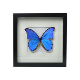 Papilio Morpho Didius in schilderij