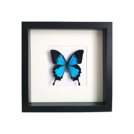 Papilio Ulysses Ulysse in schilderij
