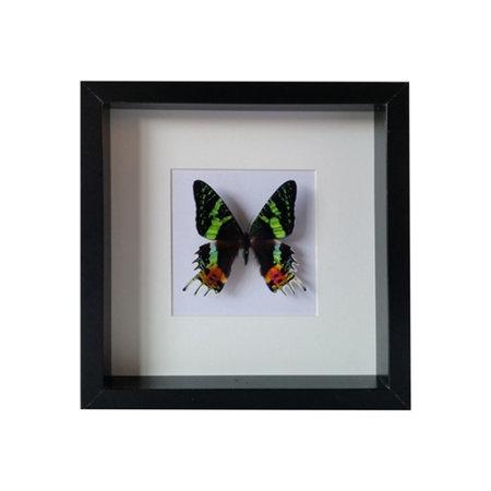Papilio Urania Ripheus in schilderij