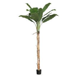 Bananenboom Agnes In Pot Groen H270
