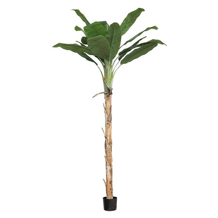 Bananenboom Agnes In Pot