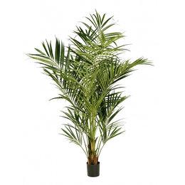 Kentia Palm Deluxe