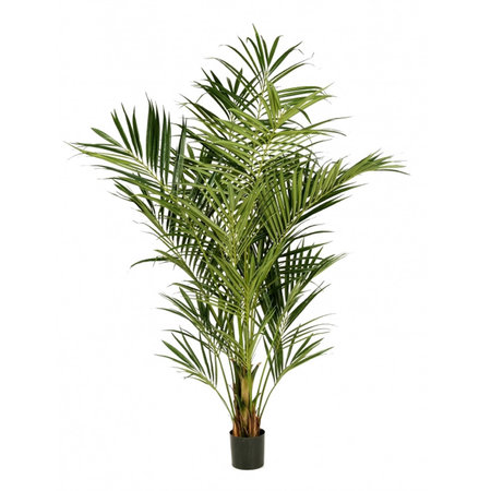 Kentia Palm Deluxe Groen H225