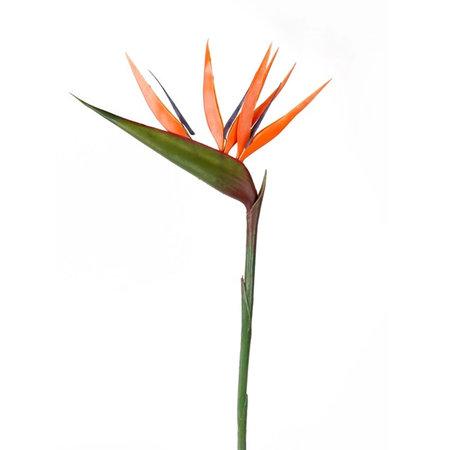 Strelitzia branch