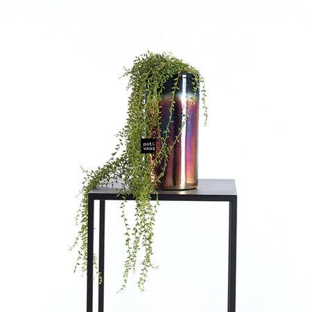Pea plant in pot