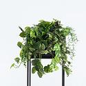 Hanging plant Senecio