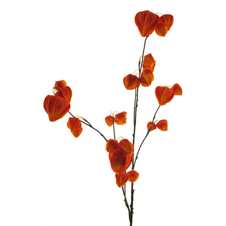 Physalis Tak Oranje H100