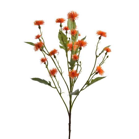 Daisy Tak Oranje