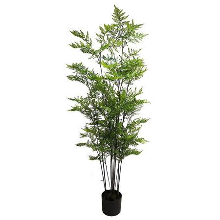 Fern Aralia tree in pot
