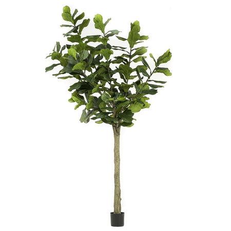 Ficus Lyrata 300cm