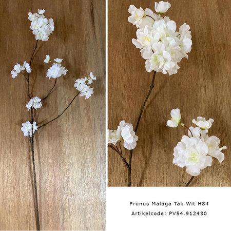 Prunus Malaga Tak Wit H84
