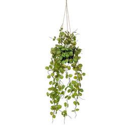 Ceropegia hangplant