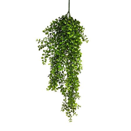 Hanging plant Eucalyptus Pelaea