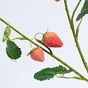 Strawberry fruit branch (SILK-KA)