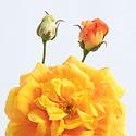 Roos Oranje H59
