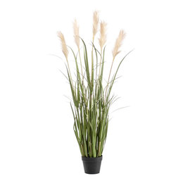 Pampagras Plant