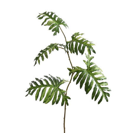 Philodendron Tak