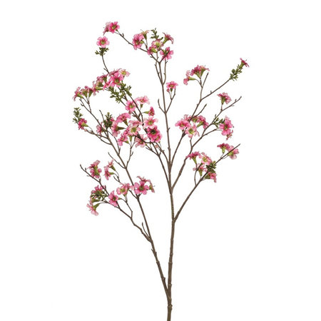 Leptospermum Tak