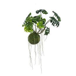 Monstera moss ball hanging plant