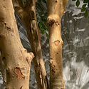 Murraya Deluxe tree