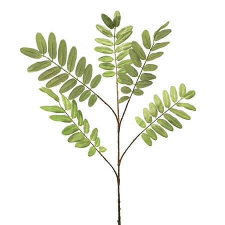 Acasia Robina leaf spray