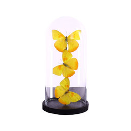 Bell jar with 3 Papilio Catopsilla